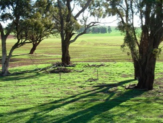 Three large trees in a green paddock