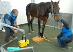 CSU veterinary students work with large animals in modern facilities