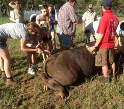 CSU animal science student Ms Emily Rheinberger (far left) helps in the vaccination of a buffalo in South Africa.