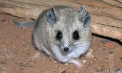 Fat Tailed dunnart photo by Professor David Watson