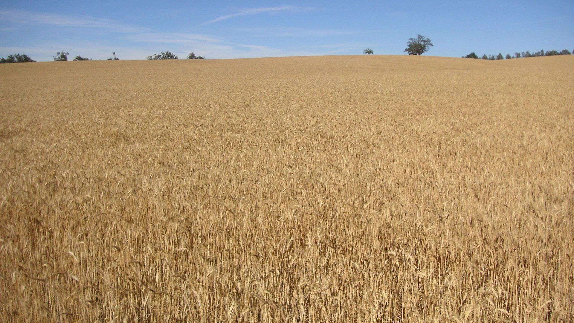 Charles Sturt research: debunking the myth about wheat breeding and allergies