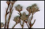 Hibbertia sericea