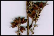 Mirbelia oxylobioides