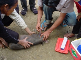 Hands-on learning: pig vaccination