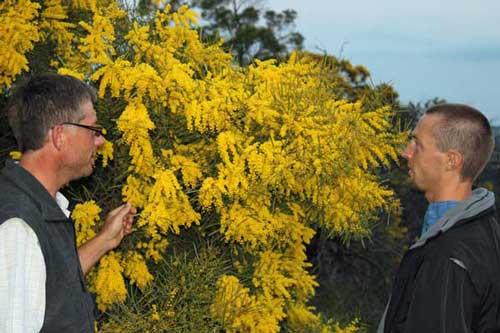 Two men discussing a wattle tree in flower