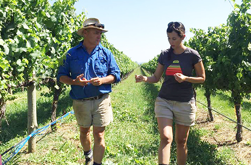 CSU Research: Protecting wine grapes from sunburn
