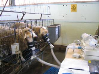 Measuring oxygen consumption in sheep
