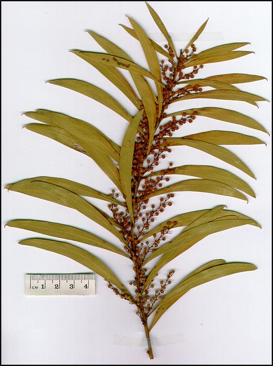 Red Stemmed Wattle Virtual Herbarium