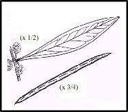 Acacia leprosa