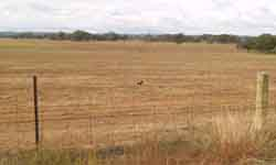 wheat crop stubble