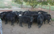 Understanding-cattle-behaviour-is-the-basis-for-good-yard-design-and-cattle-handling