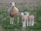 Photo courtesy of Toni Nugent: ewe and lambs.