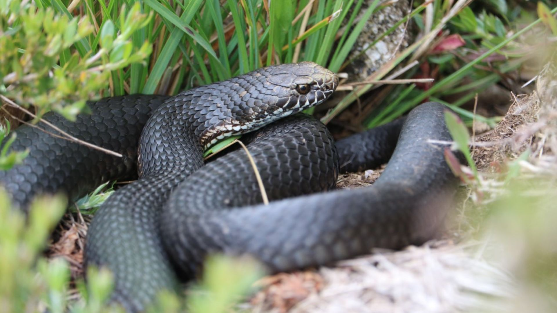 Aggressive? Poisonous? Deadly? Experts debunk myths about Australian snakes