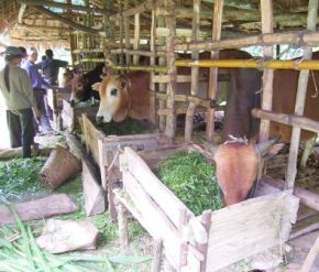 Farmer showing visiting farmers cattle housing and feeding equipment