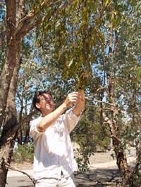 Associate Professor David Watson with Box Mistletoe.