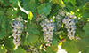 New Image Processing & Machine Learning Methodologies for Precision Viticulture
