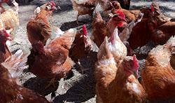 chickens_250x150