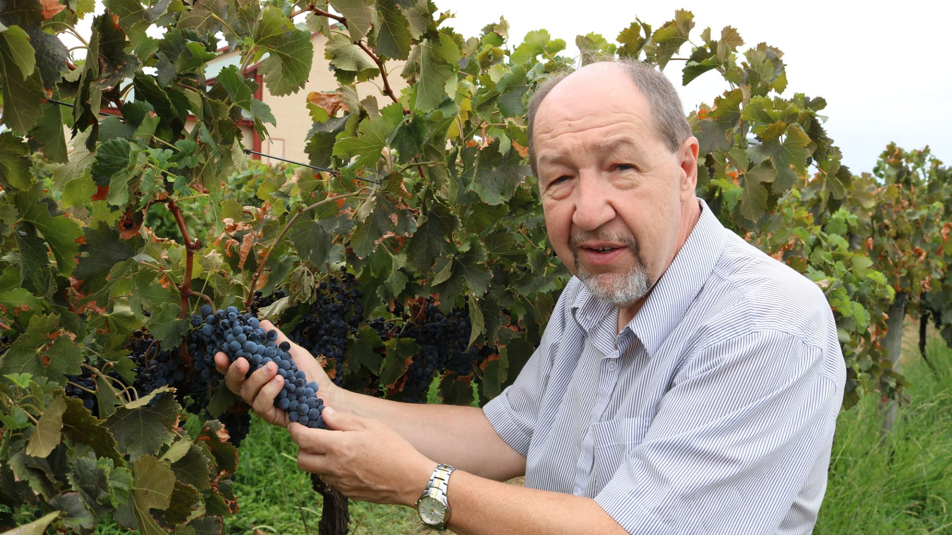 CSU Research: Measuring bunch rot impact on wine quality