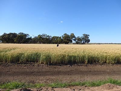 photo of sampling in a wheat crop west of Deniliquin
