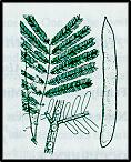 Acacia leucoclada