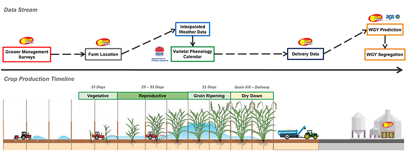 Graphic showing rice crop timeline