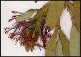 Amyema miraculosum