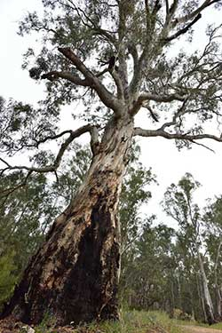 River red gum Photo by Craig Dunne