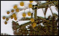 Acacia deanei subsp. deanei