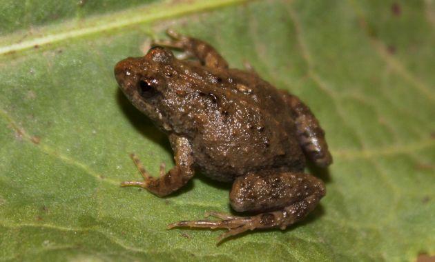 New habitat for tiny endangered frog in Corowa