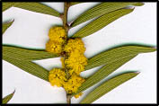 Acacia lanigera