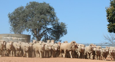 The Graham Centre's 2016 Sheep Forum will present the latest research findings around issues of key relevance to producers and the Australian sheep industry.