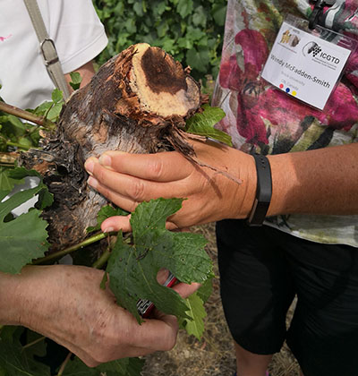 Plant pathologists examining infected grapevine wood during the vineyard tour at the Okanagan Valley, British Columbia.