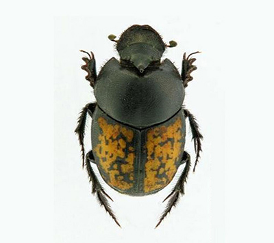 Onthophagus andalusicus