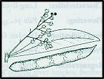 Acacia penninervis