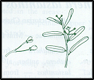 Pomaderris angustifolia