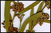 Daviesia mimosoides ssp. mimosoides