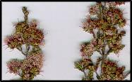 Kunzea parvifolia