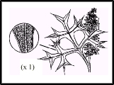 Grevillea ramosissima