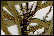 Acacia difformis