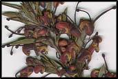 Grevillea rosmarinifolia