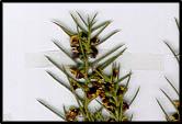 Daviesia genistifolia