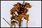 Senna artemisioides ssp. zygophylla