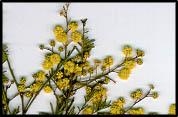 Acacia deanei subsp. paucijuga
