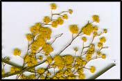 Acacia linearifolia